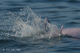 Indo-pacific Humpback Dolphin @ Straits of Singapore