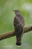 Cuckoo Indian (female) @ Bidadari