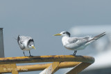 Tern, Swift - Juvenile
