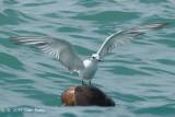 Tern, Aleutian @ Malacca Straits