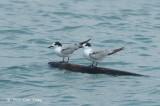 Tern, Common @ Malacca Straits