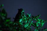 Owl, Barred Eagle (female standing guard)