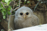 Owl, Barred Eagle Owl (chick)
