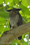 Owl, Barred Eagle (male)