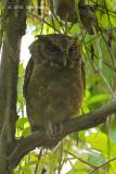 Owl, Sunda Scops (juvenile) @ Pasir Ris Park