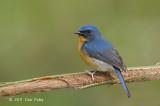 Flycatcher, Hill Blue (male) @ Bukit Tinggi