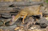 Mousedeer, Lesser (male) @ Kaeng Krachan