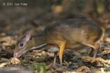 Mousedeer, Lesser @ Kaeng Krachan