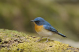 Flycatcher, Tickell's Blue (male) @ Phu Khieo