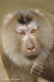 Macaque, Northern Pig-tailed