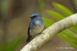 Flycatcher, Hainan Blue (male) @ Khao Yai