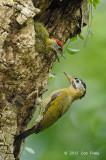 Woodpecker, Laced @ Pasir Ris