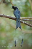 Drongo, Greater Racket-tailed @ Kaeng Krachan