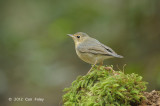Robin, Siberian Blue (first winter male) @ Phu Khieo
