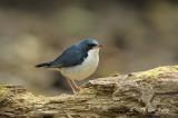 Robin, Siberian Blue (male) @ Phu Khieo