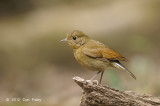 Robin, White-tailed (female) @ Phu Khieo