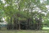 Malayan Banyan (Ficus microcarpa) @ Bidadari