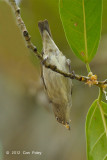 Flowerpecker, Brown-backed