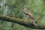 Goshawk, Crested (male) @ Japanese Gardens