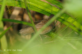 Warbler, Pallas's Grasshopper @ Sengkang