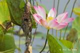 Sunbird, Olive-backed @ Japanese Gardens