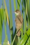 Warbler, Oriental Reed @ Sengkang
