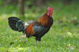 Junglefowl, Red (male) @ Pasir Ris