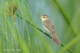Warbler, Black-browed Reed @ Sengkang
