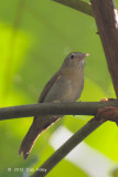 Babbler, Rufous-fronted