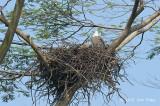 Eagle, White-bellied Sea @ Choa Khu Kang