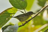 Shrike-babbler Black-eared (female) @ Jalan Richmond