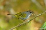 Warbler, Chestnut-crowned @ Jalan Richmond