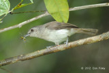 Babbler, Sooty-capped @ Merapoh