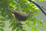 Bulbul, Red-eyed @ Merapoh