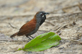 Babbler, Black-throated