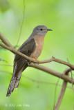 Cuckoo, Rusty-breasted @ Lor Halus