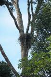 Eagle, Blyth's Hawk (nest)