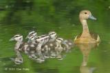 Duck, Lesser Whistling @ Botanic Gardens