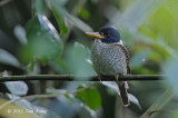Kingfisher, Scaly-breasted (male) @ Gunung Mahawu