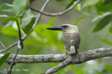 Kingfisher, Great-billed @ near Batu Putih
