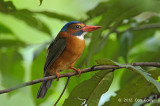 Kingfisher, Green-backed (female) @ Tangkoko