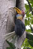 Hornbill, Red-knobbed (male) @ Tangkoko