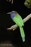 Bee-eater, Purple-bearded @ Lore Lindu