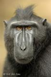 Crested Black Macaque @ Tangkoko
