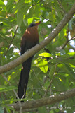 Malkoha, Yellow-billed @ Tangkoko