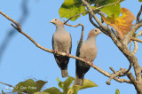 Pigeon, Green Imperial @ Tangkoko