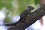 Whitish Dwarf Squirrel @ Tangkoko