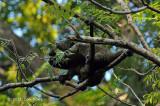 Sulawesi Bear Cuscus @ Tangkoko