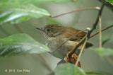 Babbler, Sulawesi @ Lake Tambing