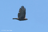 Eagle, Sulawesi Hawk @ Lake Tambing